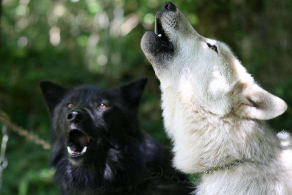 Activité avec les loups aux Tipis du Bonheur de Vivre